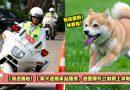 【我迷路啦!】柴犬迷路呆站路旁,遇警摩托立刻跳上求助?!